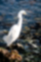 Picture of a snowy egret scanning the shallows of Lakeland, Florida's Circle B Bar Preserve as a fine art nature print for the wall of your home or office.