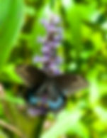 Picture of a black swallowtail butterfly feeding on pickerelweed in Tampa's Lettuce Lake Park as a fine art nature print for the wall of your home or office.