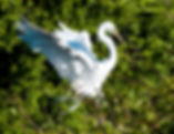 Picture of a great white egret carrying nesting material back to its nest, for the wall of your home or office, as a fine art nature print.