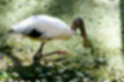 Picture of a wood stork in Tampa, Florida's Lettuce lake Park as a fine art nature print for the wall of your home or office.