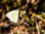 Picture of a sulfur butterfly feeding on a daisy in rural Okeechobee County, Florida as a fine art nature print for the walls of your home or office.