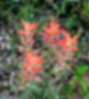 Indian paintbrush fine art print for the walls of your home or office.