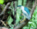 Picture of a black crowned night heron foraging in Tampa, Florida's Lettuce Lake park as a fine art nature print for the wall of your home or office.