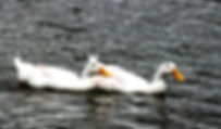 Picture of a pair of pekin ducks swimming in Lakeland, Florida's Lake Morton as a fine art nature print for the wall of your home or office.