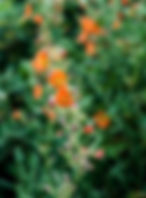 Scarlet globemallow as a fine art nature print for the walls of you home or office.