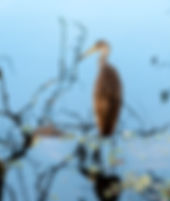 Piture of a limpkin wading in the oxbow of Tampa, Florida's Lettuce Lake Park as a fine art nature print for the walls of your home or office.