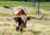 Picture of a longhorn steer in a western Polk County, Florida pasture as a fine art nature print for the wall of your home or office.