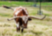 Pictures of bovines as fine art nature prints for the wall of your home or office.