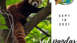 International Red Panda Day!