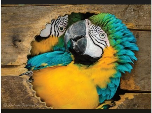 Poster Macaw