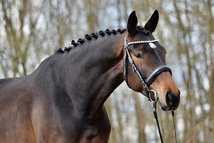 Verkaufspferd Jungpferd Dressurpferd Hannoveraner