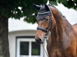 Verkaufspferd Dressurpferd Trakehner Schleswig-Holstein