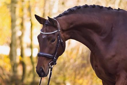 Verkaufspferd Holsteiner Oldenburger Trakehner Hannoveraner Handelsstall Pferdehändler Jungpferdeausbildung Reitanlage Beritt Flensburg