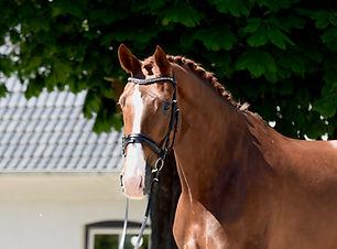 charming.jpgVerkaufspferd Dressurpferd Holsteiner Springpferd Hunter Schleswig-Holstein