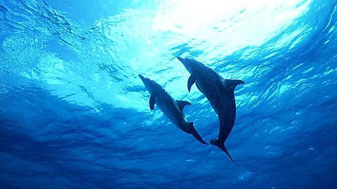 374565-oceanic-dolphins-wallpaper_edited.jpg