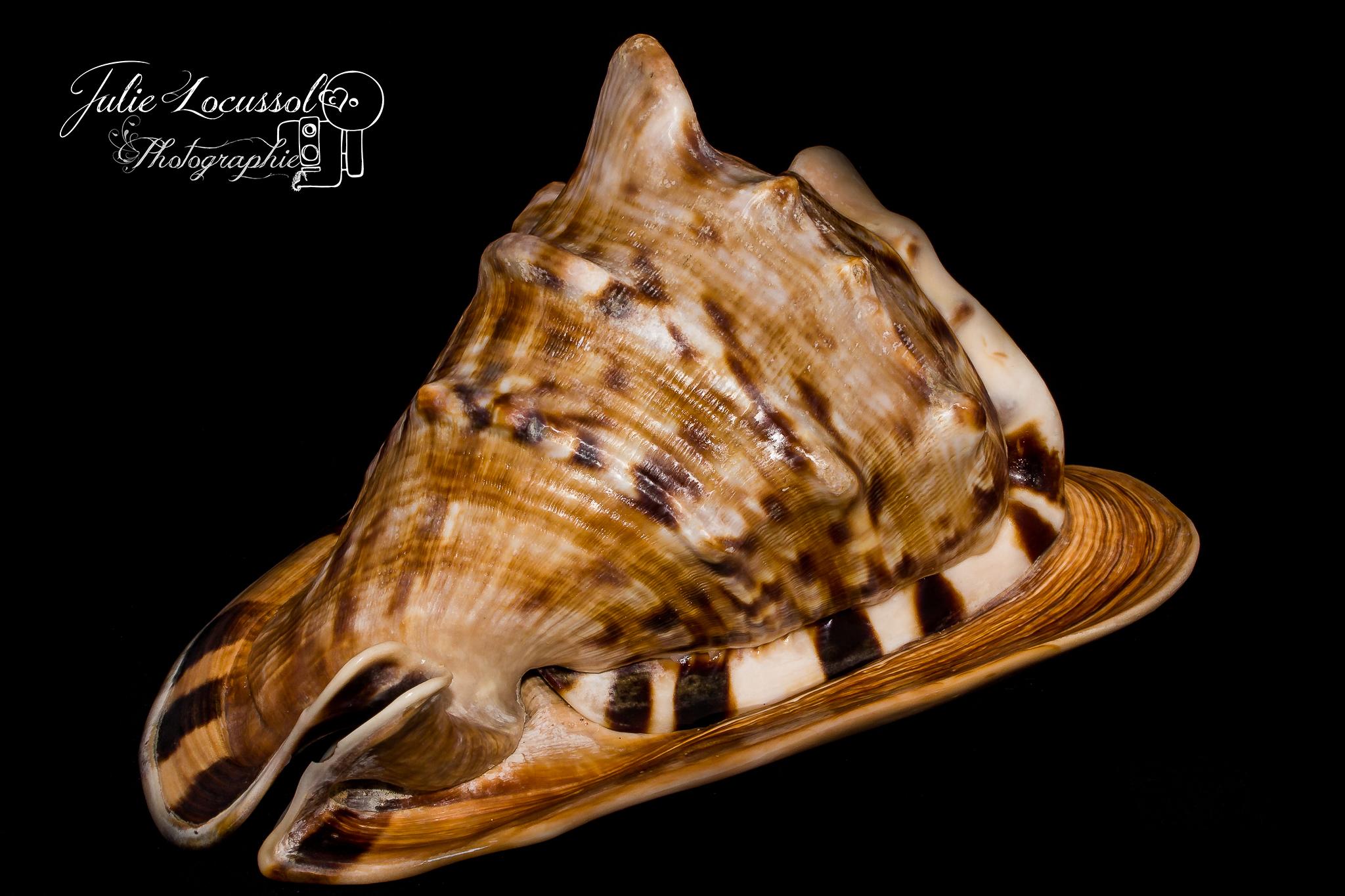 Cassis Cornuta Cassidae