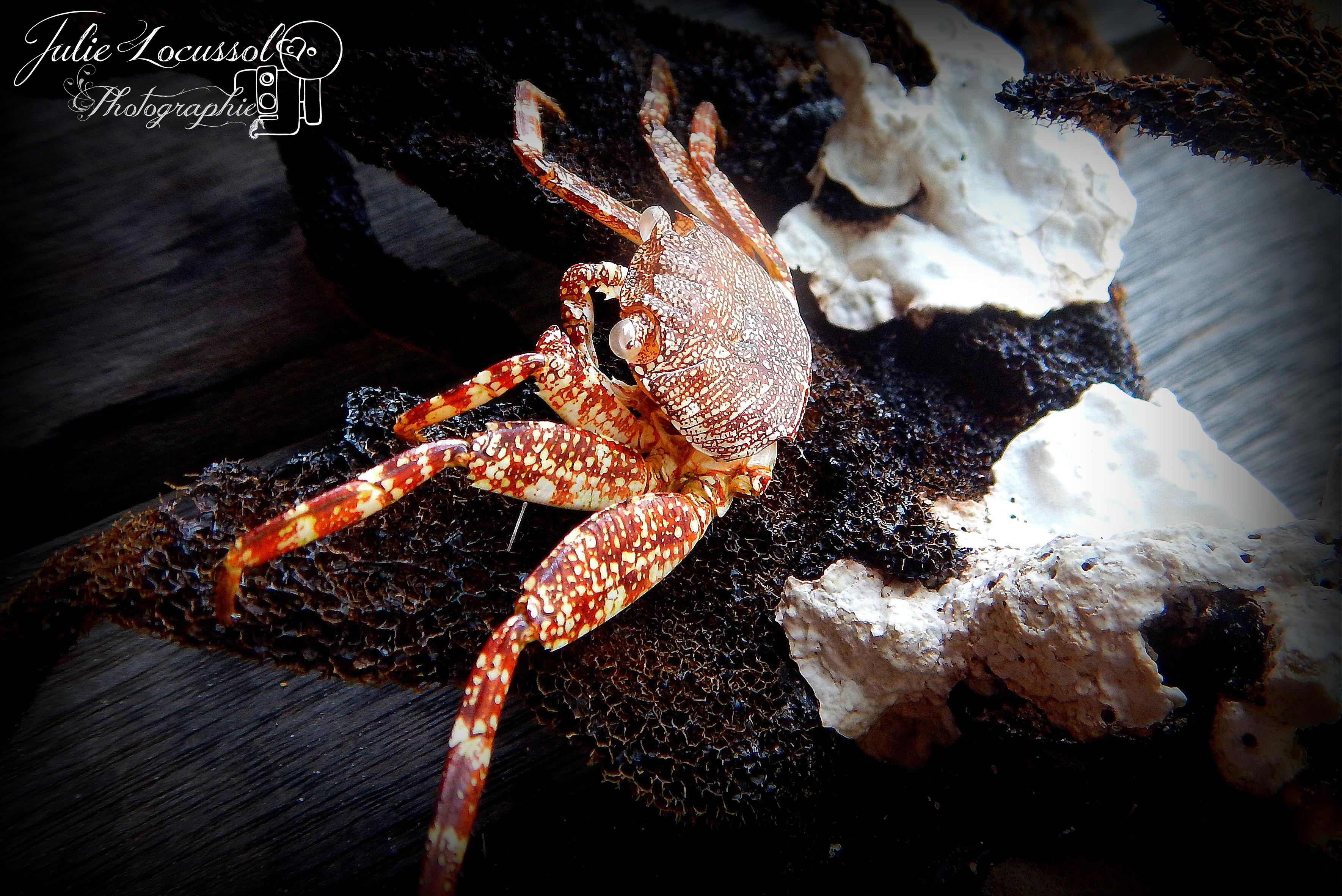 Mue de crabe Zagaya