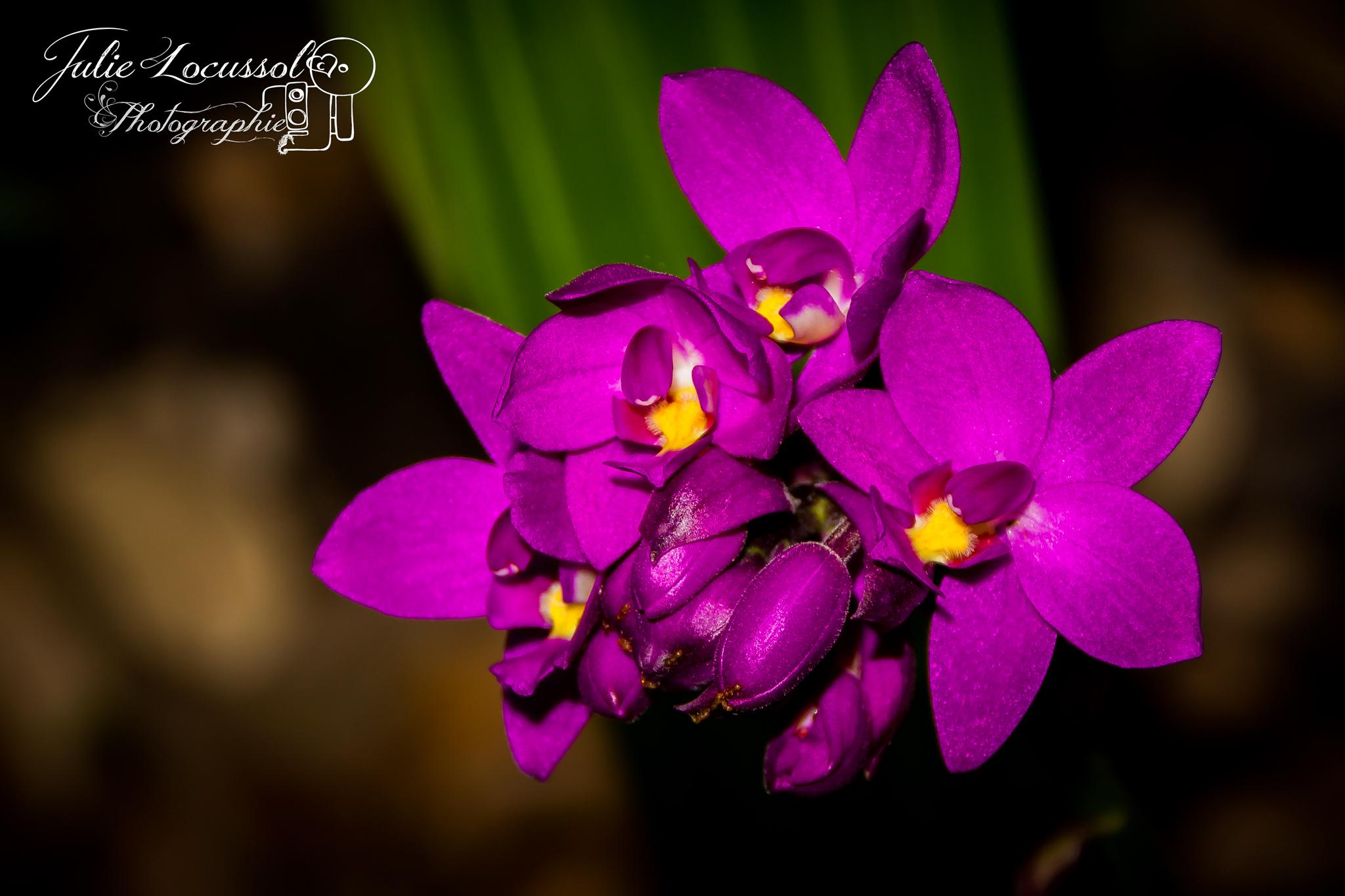 Orchidée Coco