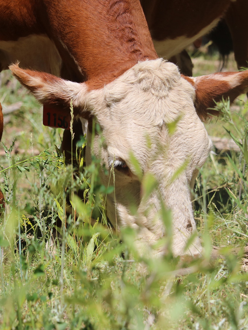 Grazing Livestock