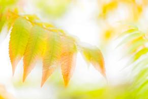 20119 Essigbaum-Blätter 2.jpg