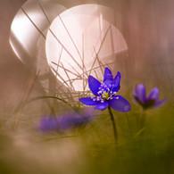 10097 Leberblumen 2.jpg