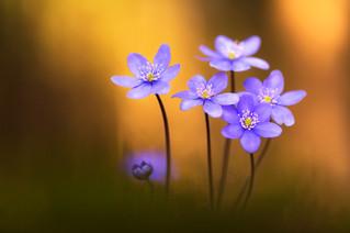10106 Leberblumen 4.jpg