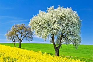 20123 Birnenbaum in der Hochblüte.jpg