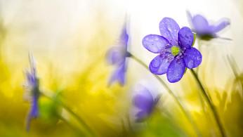 10098 Leberblumen 1.jpg