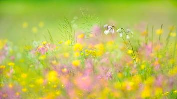 20134 Wollgras im Blütenmeer.jpg