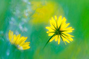 20135 Bocksbart-Blüten.jpg