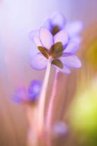 10111 Leberblumen 5.jpg