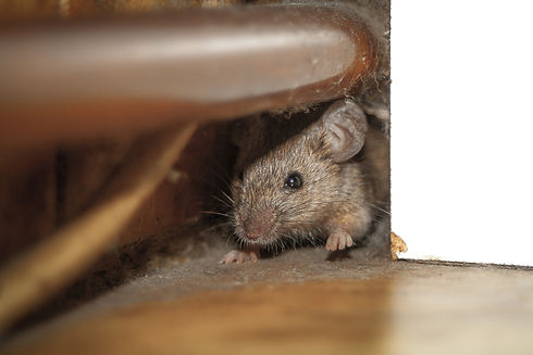 locating a rodent behind cupboards