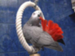african-grey-parrot-clipart-red-factor-19.jpg