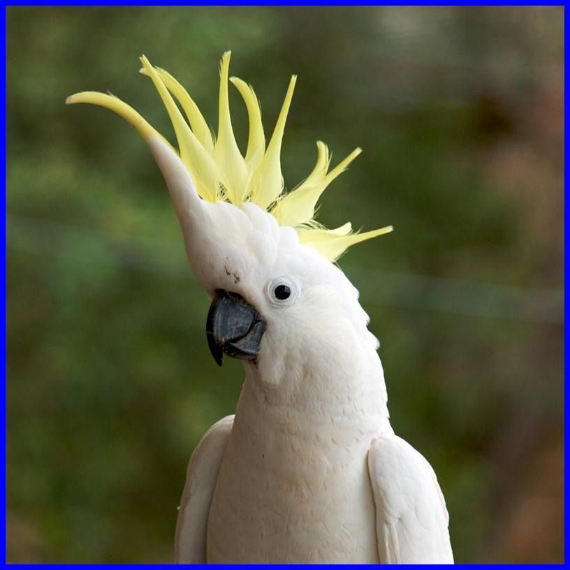 Sulphur Crested Cockatoo Parrot