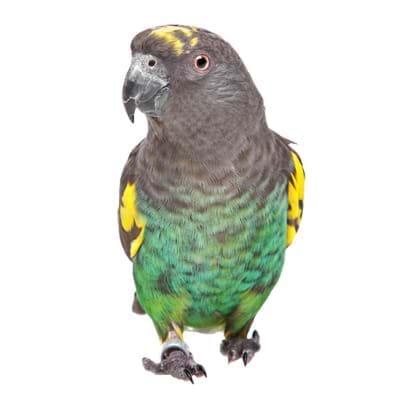 Meyer Parrot