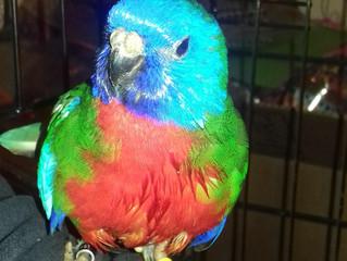 Found - Scarlett Crested Parakeet