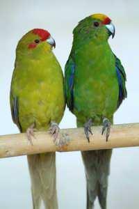 Kakariki Parrot