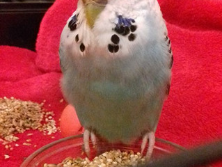 Found Budgie Liverpool