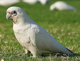 Bare-Eyed Cockatoo Parrot