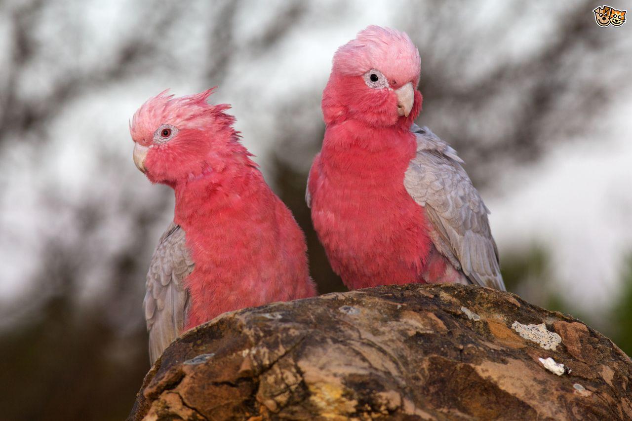 Galah Cockatoo Parrot