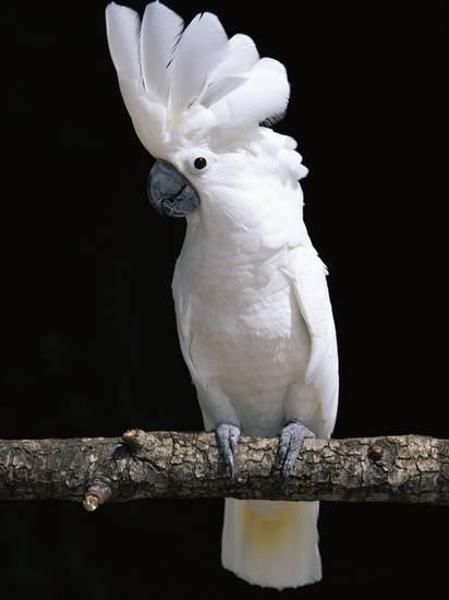Umbrella Cockatoo Parrot