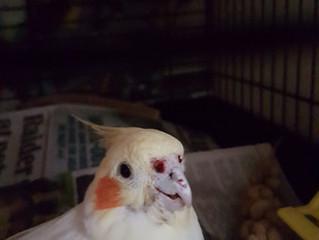 Found Cockatiel Wednesbury