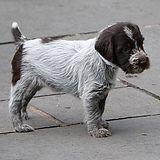 Rachel's Korthal Griffon puppies 107.JPG
