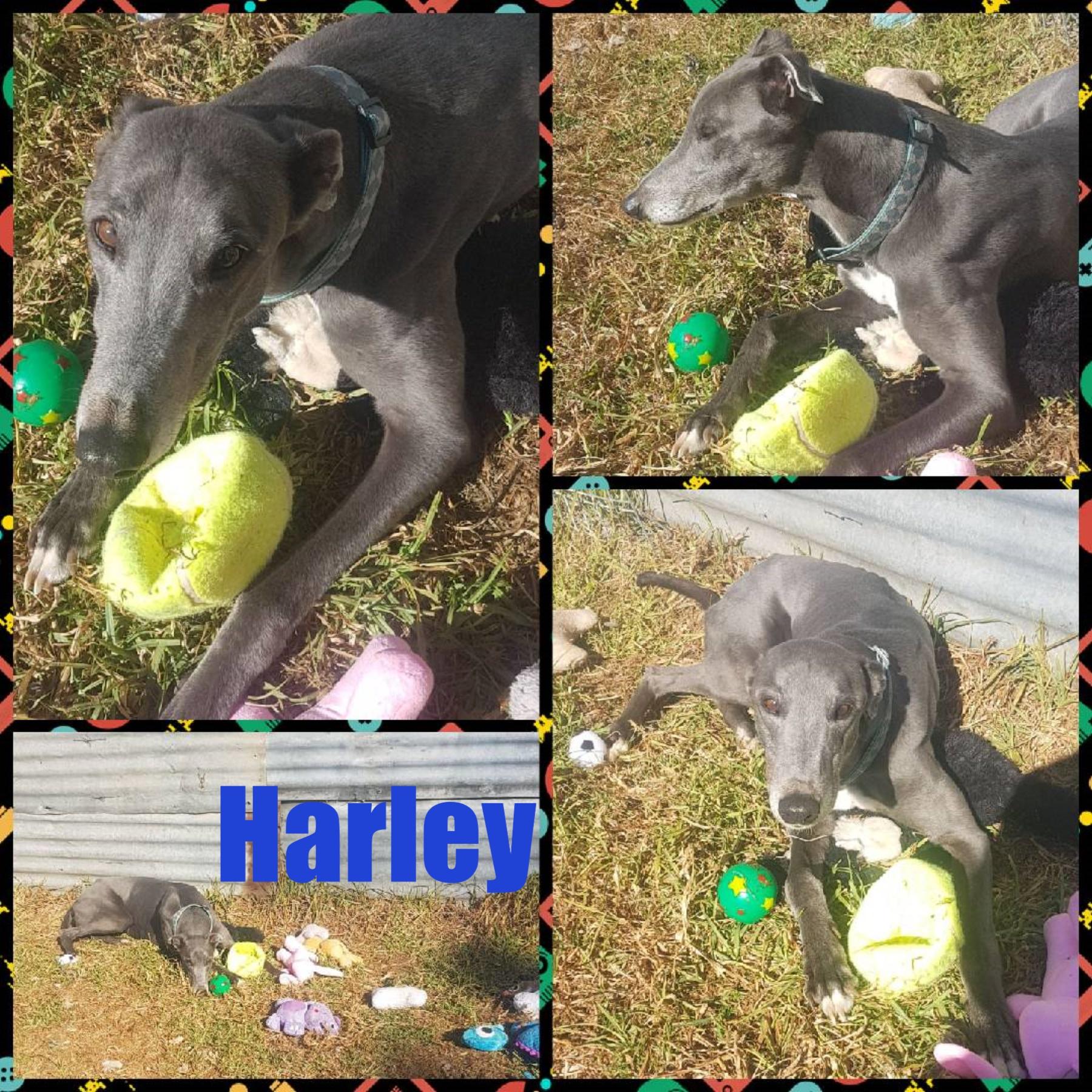 Harley (Interrogated)