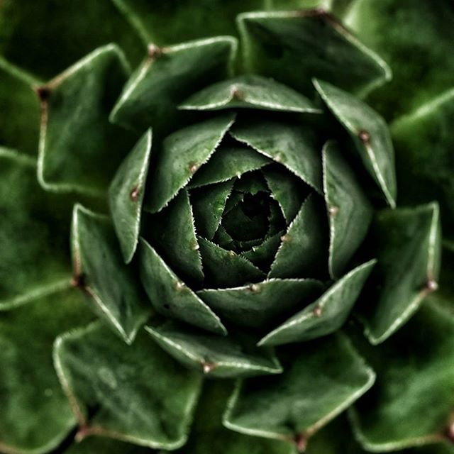 Winter green #succulent