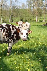 Vaches normandes - MRicaud.jpg