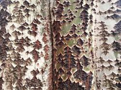 Bark Texture 8
