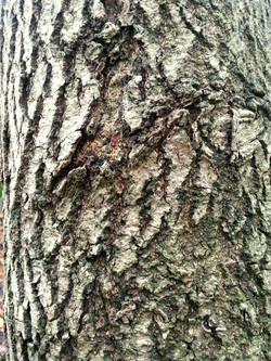 Bark Texture 1
