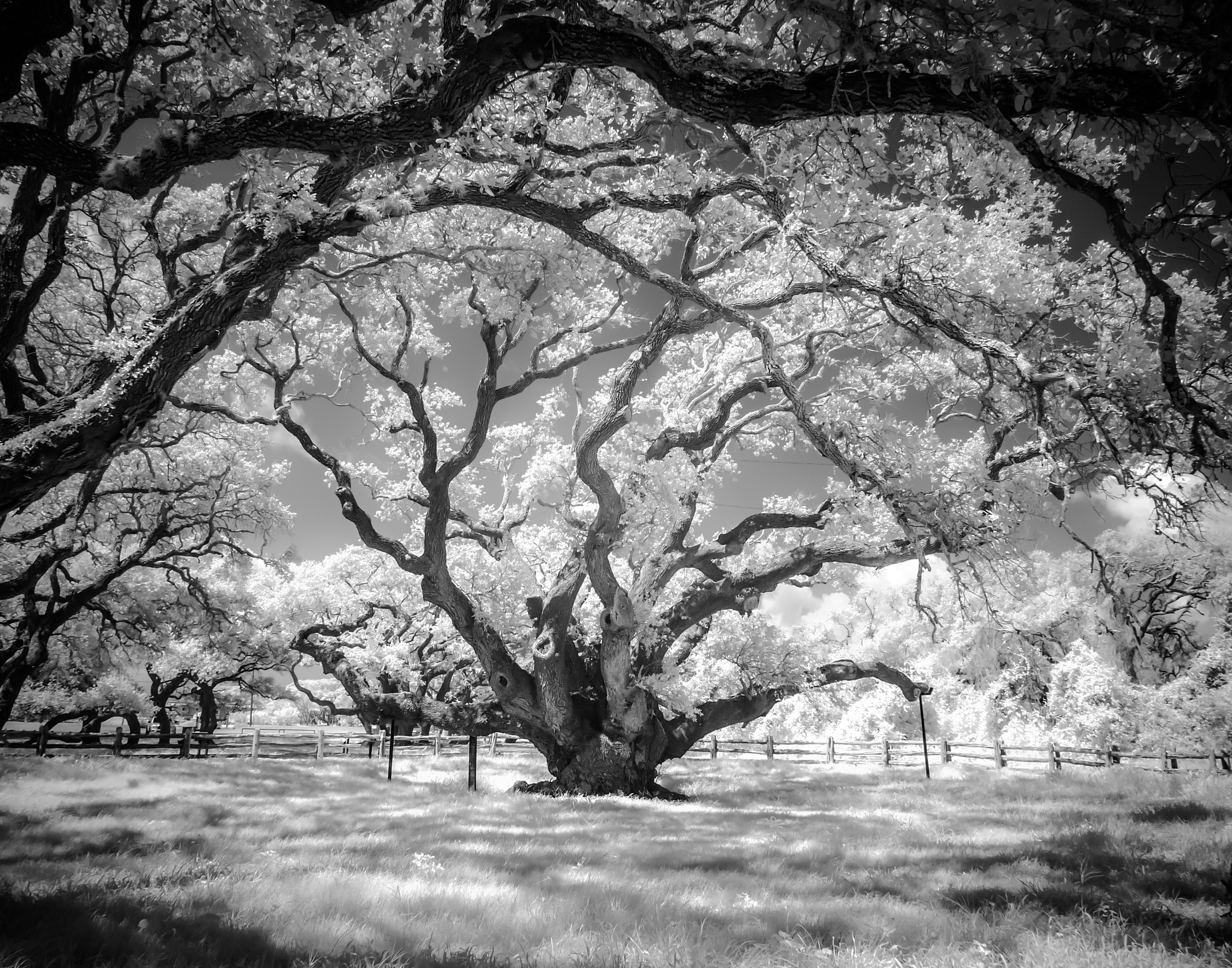 The Big Tree in Infrared