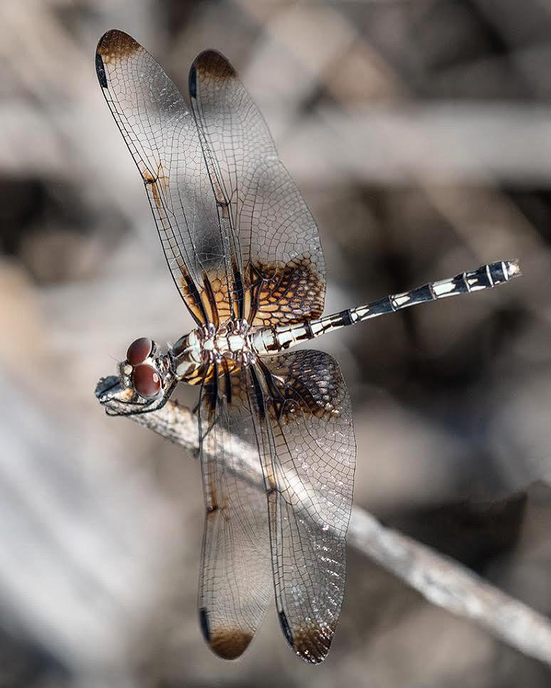 F2 Dragonfly